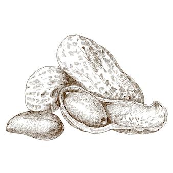 殻から取り出されたピーナッツの彫刻イラスト