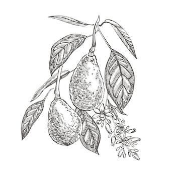 アボカドの手描きイラスト