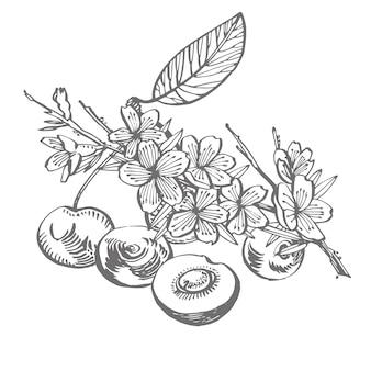 Вишневый набор для рисования. изолированная ягода нарисованная рукой на белой предпосылке. летние фрукты выгравированы стиль иллюстрации.