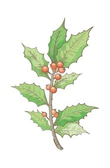 クリスマスヒイラギの枝、手描きのスケッチ。