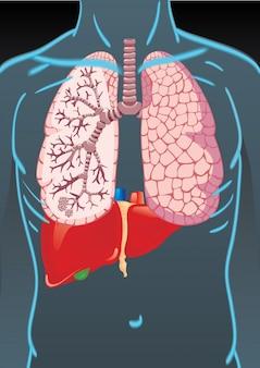 Тело человека с внутренними органами