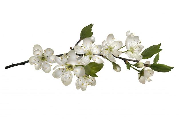 Цветущая вишня ветка с белыми цветами.