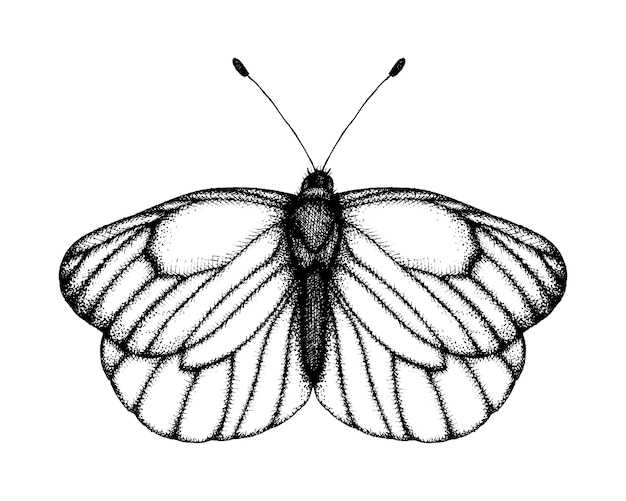 蝶の黒と白のベクトルイラスト。手描きの昆虫のスケッチ。ビンテージスタイルの黒の縞模様の白の詳細なグラフィック描画。