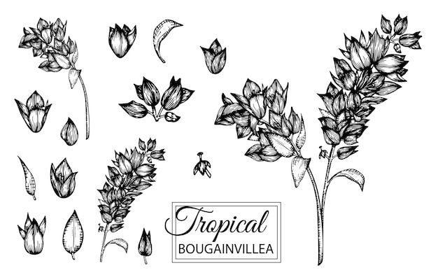 分離された熱帯の花のイラスト。手描きのブーゲンビリア。