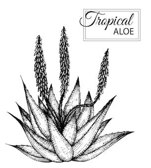 Иллюстрация тропического цветка изолированы. рисованной алоэ. ,