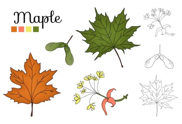 分離されたメープルツリー要素のベクトルを設定します。カエデの葉、ブランチ、花、重要な果物の植物図。黒と白のクリップアート