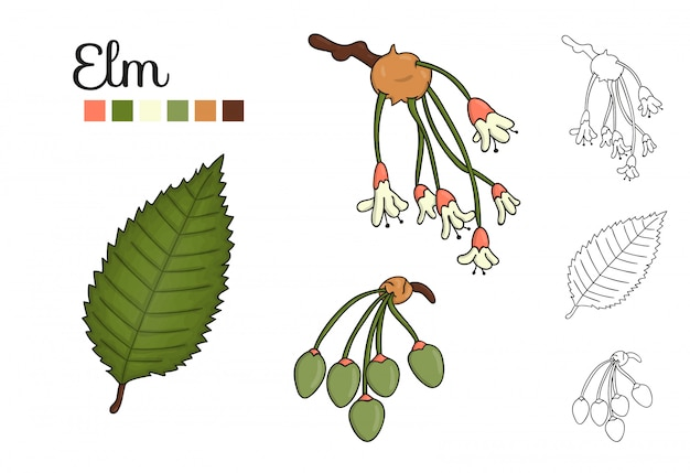 分離されたニレの木の要素のベクトルを設定します。ニレの葉、ブランチ、花、主要な果物の植物図。黒と白のクリップアート
