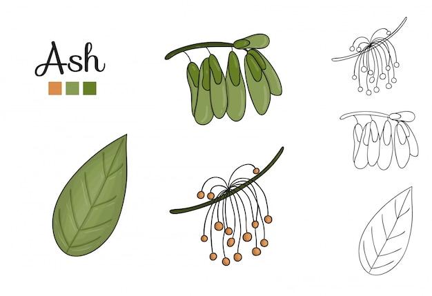 分離された灰の木の要素のベクトルを設定します。灰の葉、ブランチ、花、主要な果物の植物図。黒と白のクリップアート。