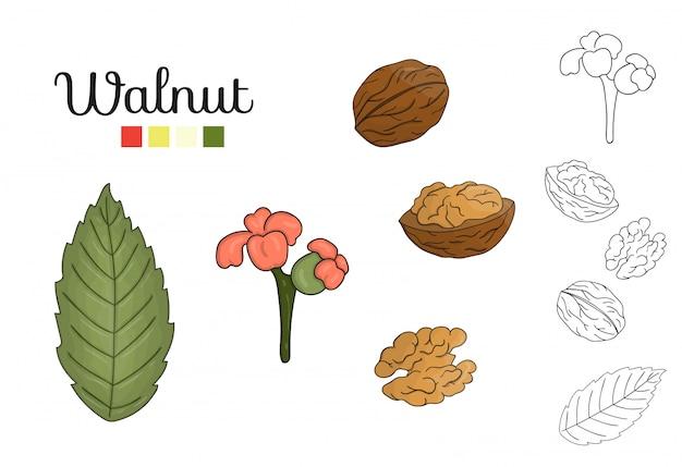 分離されたクルミの木の要素のベクトルを設定します。クルミの葉、ブランチ、花、ナッツの植物図。黒と白のクリップアート。