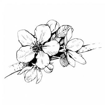 スケッチ手描きのリンゴの花。咲く桜。花のつぼみと桜の枝。