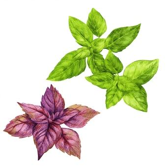 赤と緑のバジル、手描きの水彩画