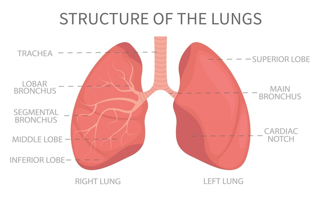 Медицинская структура легких