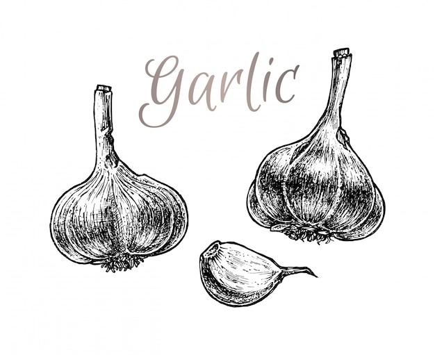 Чеснок рисованной эскиз. вегетарианская еда