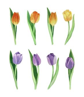 Желтый и фиолетовый акварельный тюльпан. коллекция весенних цветов.