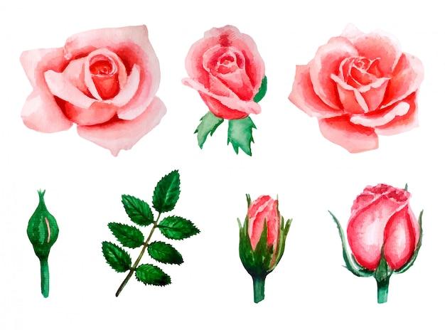 芽から咲く花、手描きに咲くピンクのバラの水彩イラストセット