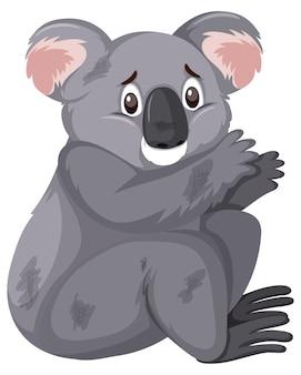 白で負傷したコアラ