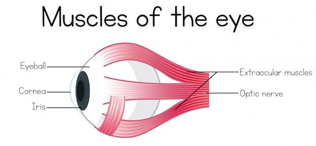 目の人間の筋肉