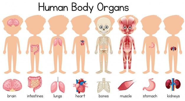 人体の器官のセット