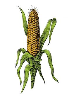 Спелая кукуруза в початках с листьями