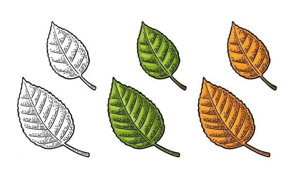 リンデンの葉。色ヴィンテージ刻まれたイラスト。