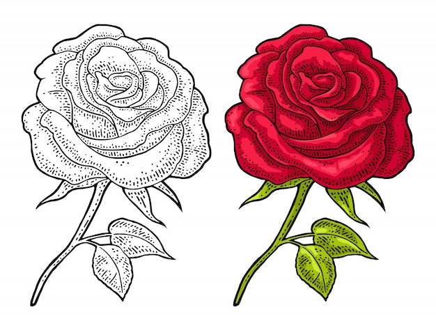バラの花と葉。白のヴィンテージのイラストを彫刻色