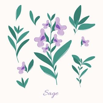 セージハーブの葉と花。ブルーミングセージイラスト。