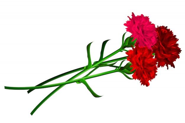 分離された赤いカーネーションの花
