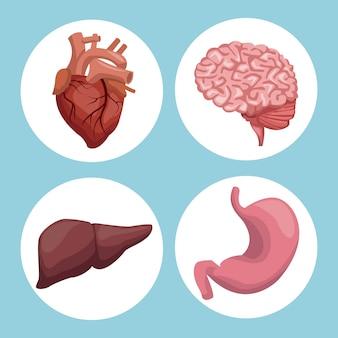 円形のフレームの器官人体