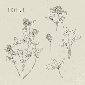 レッドクローバー医療植物分離イラスト。植物、葉、花の手描きセット。ヴィンテージのスケッチ。