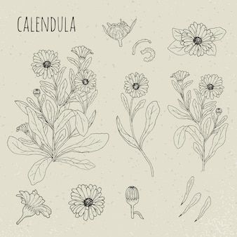 カレンデュラ医療植物分離イラスト。植物、花、花びら、葉、種子手描きセット。ビンテージ輪郭スケッチ。