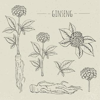 Иллюстрация женьшеня медицинская ботаническая изолированная. растение, корень, листья рисованной набор. старинный эскиз.