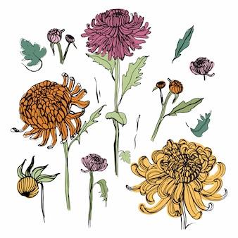 日本菊セット。手でカラフルなコレクションには、芽、花、葉が描かれています。ビンテージスタイルの図。