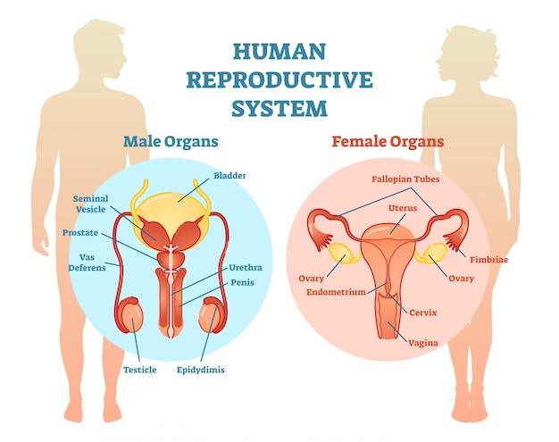 人間の生殖器系のベクトル図。