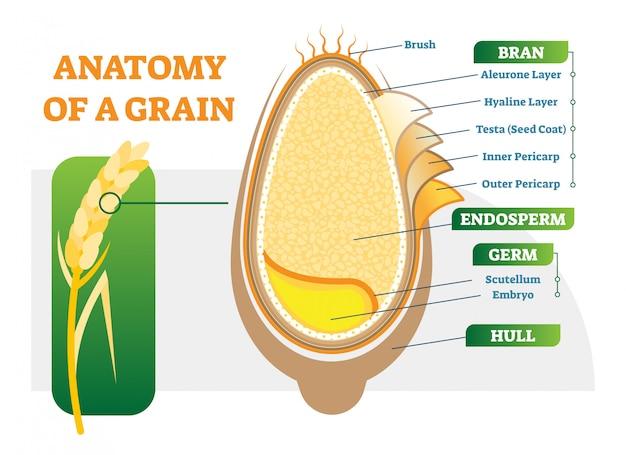 Векторные иллюстрации анатомических слоев зерна