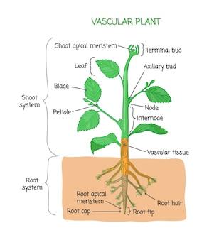 植物の生物学的構造図