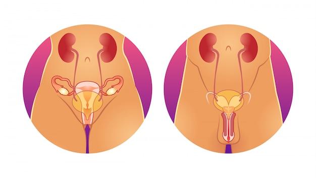 男性と女性の生殖システム