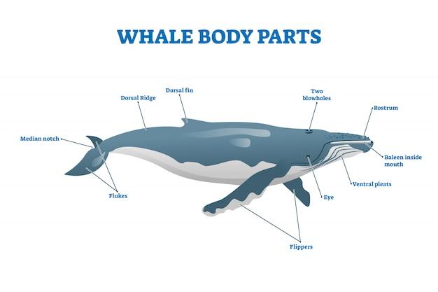 クジラの体の部分の図。ラベル付きの教育哺乳類の構造。