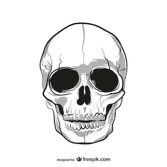 人間の頭蓋骨の描画