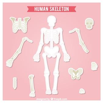 人間の骨格を切り取り