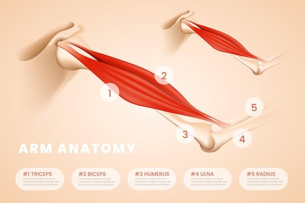 医療インフォグラフィックテンプレート腕の解剖学