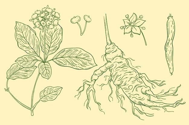 手描きの高麗人参植物のセット