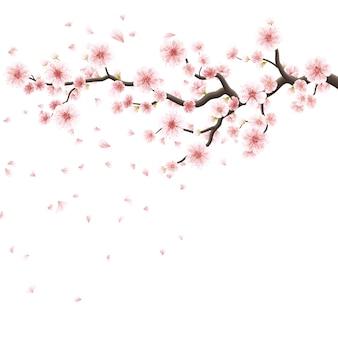 Розовые цветки сакуры изолированные на белизне.