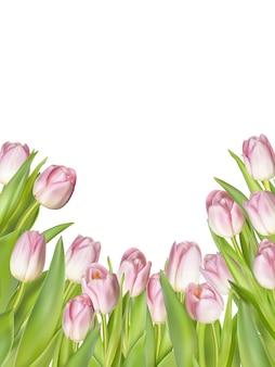 白地にピンクの新鮮なチューリップ。