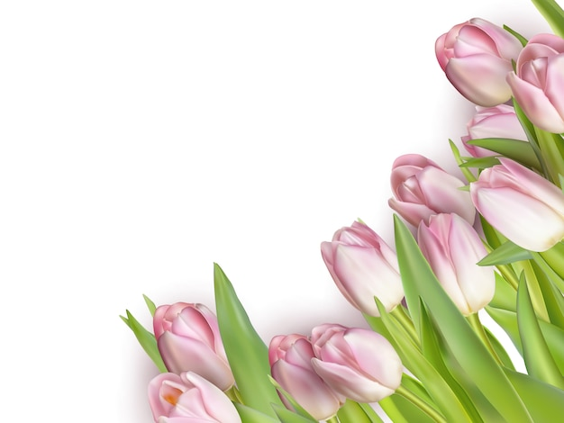 春の花。白で隔離されるチューリップ。