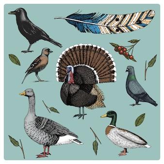 手描きのリアルな鳥、スケッチグラフィックスタイル、国内のセット。七面鳥とアヒル。ガチョウとカラス。鳩とスズメ。カラスと羽。