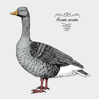 Рисованная реалистичная птица, эскиз графического стиля,
