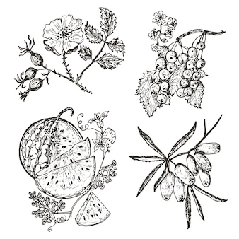 Установить ягоды. красная смородина, облепиха, шиповник, арбуз. гравированные рисованной в старом эскизе, винтажный стиль.