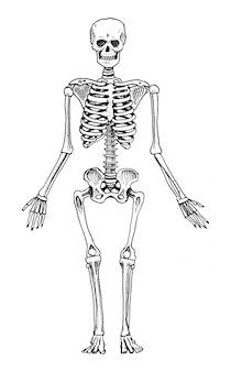 人間の生物学、解剖学のイラスト。古いスケッチとビンテージスタイルで描かれた刻まれた手。スケルトンのシルエット。体の骨。