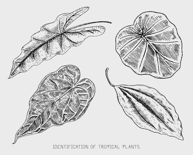 刻まれた、手描きの熱帯またはエキゾチックな葉、異なるヴィンテージ探している植物の葉。モンステラとシダ、ヤシとバナナ植物学セット
