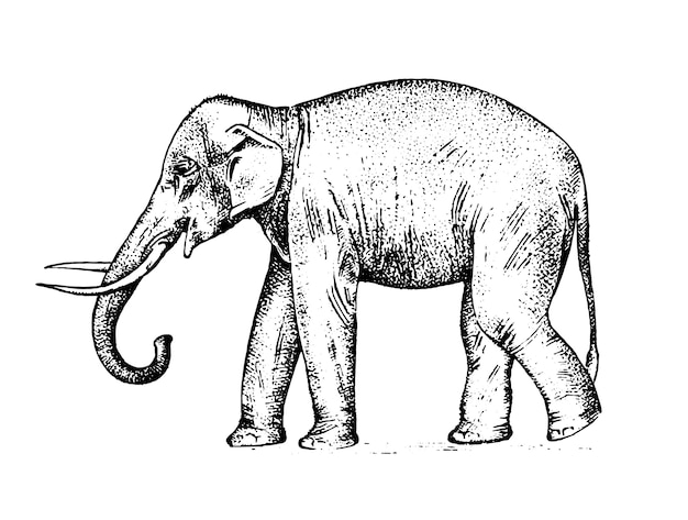 インド象。暖かい国の野生動物。刻まれた手は、古いスケッチ、ビンテージスタイルで現実的に描かれました。